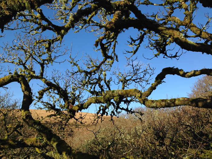 ancient wood on dartmoor photo © viv robinson blue badge guide