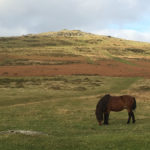 wild pony on dartmoor photo © viv robinson blue badge guide